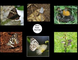 food source of butterflies