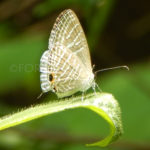 common cerulean