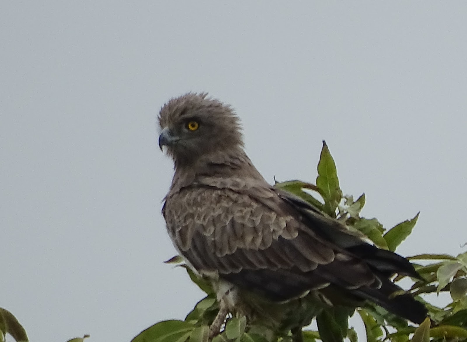 Identification Of Common Indian Raptors Forrest